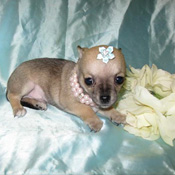 Adorable tea cup yorkie and chihuahua puppy for free adoption